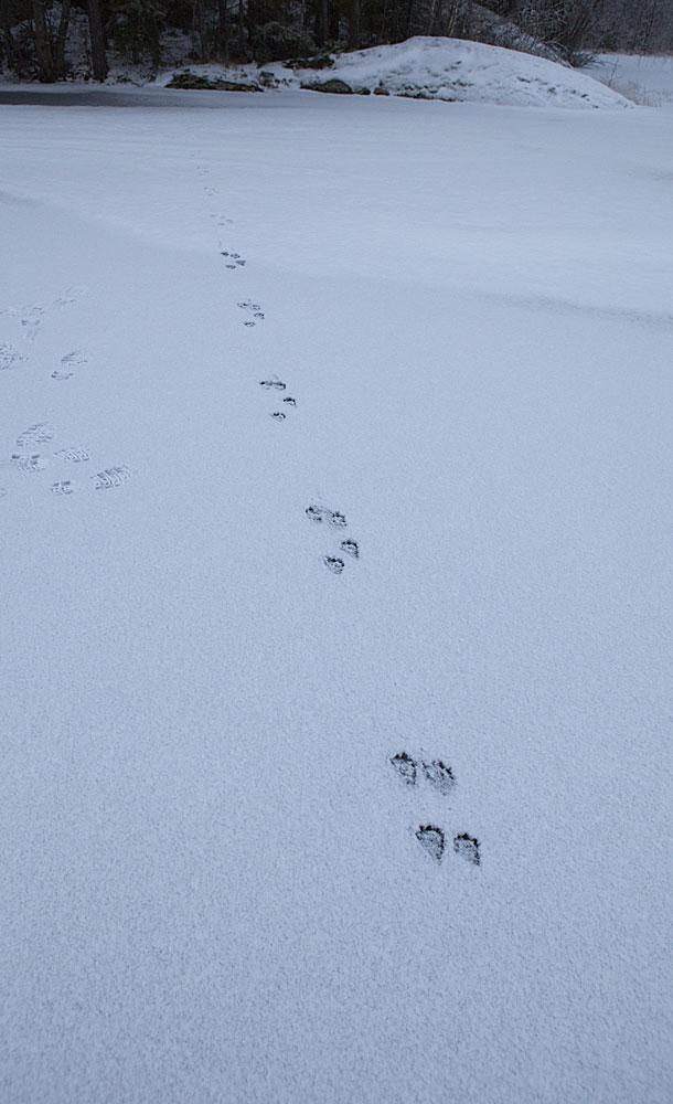spår i snön ekorre