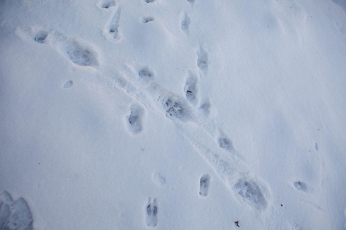 spår i snön mård